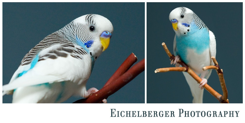 tiny blue and white parakeet king louie passed away monday morning
